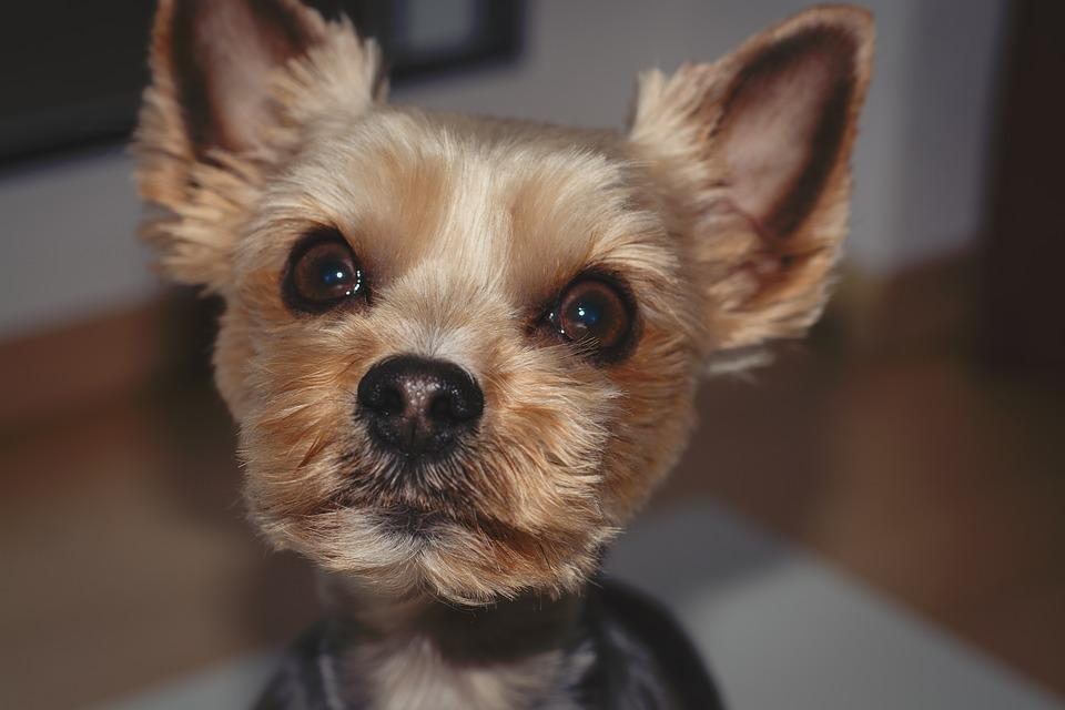 Dog, Yorki, Terrier, Yorkshire Terrier, Sweet
