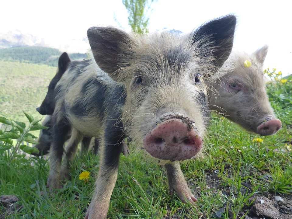 Pigs, Piglet, Cute, Funny, Farm, Animal, Boar, Sweet