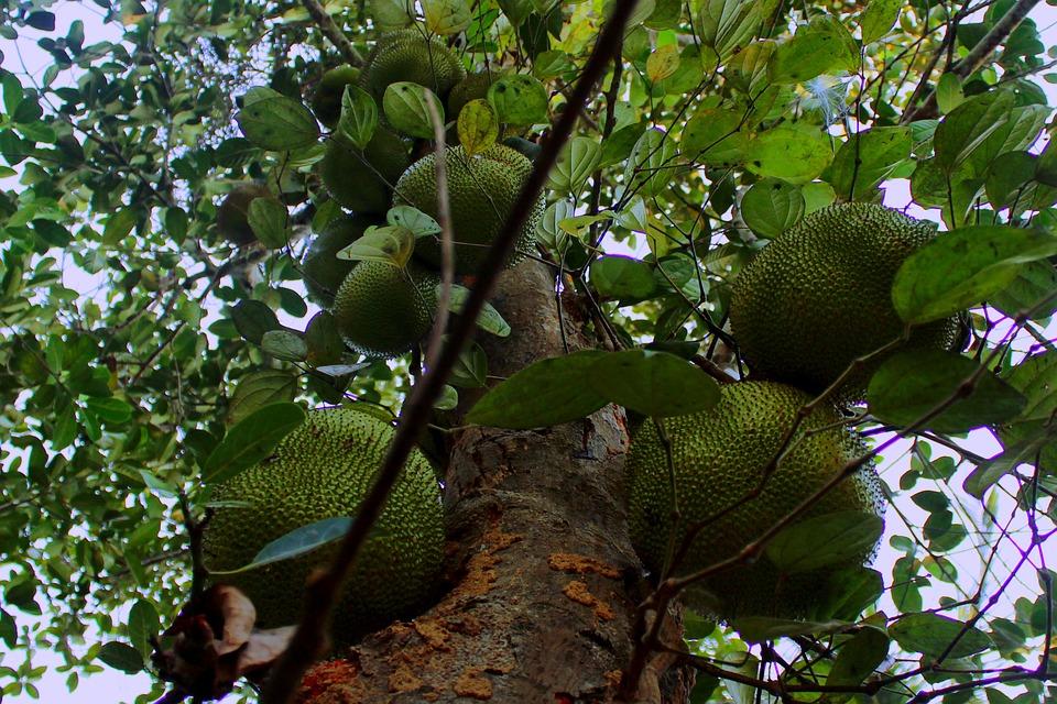 Fruit, Food, Sweet, Delicious, Jackfruit, Tree, Nature