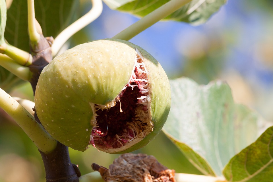 Fig, Ripe, Chappell, Meat, Pulp, Fruit, Sweet, Vitamins