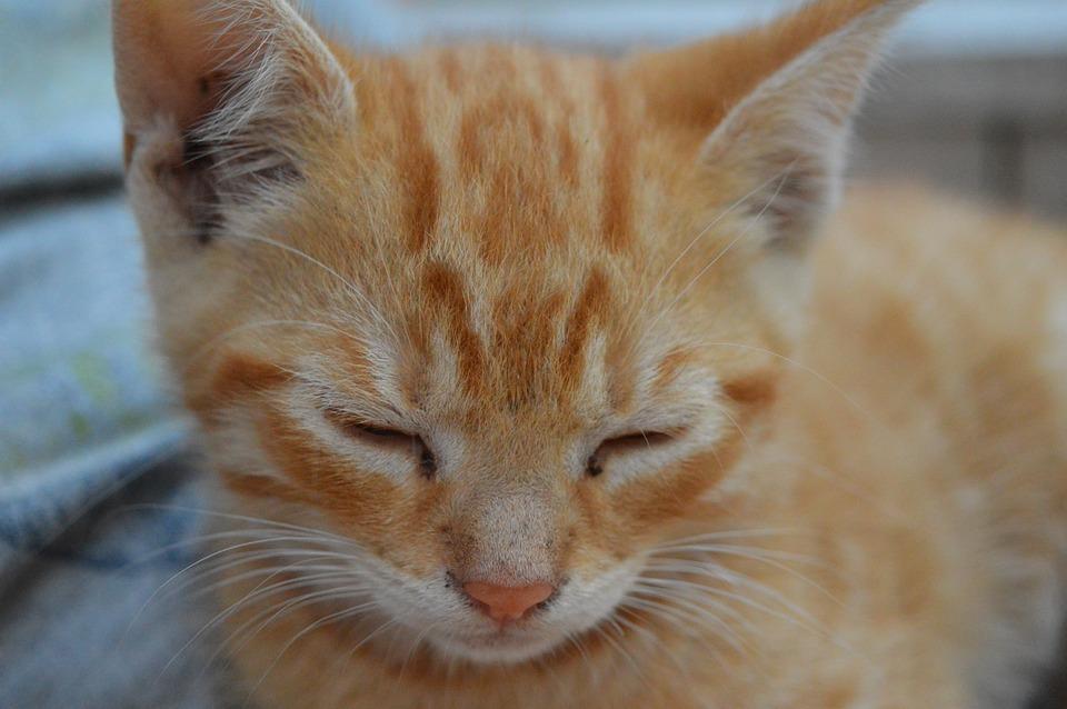 Kitten, Small Pussy, Cute, Lazy, Nap, Sweet, Pet, Sleep