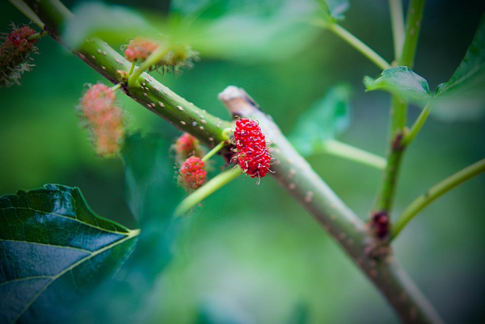 Fruit, Mulberry, Red, Mulberries, Berry, Sweet, Nature