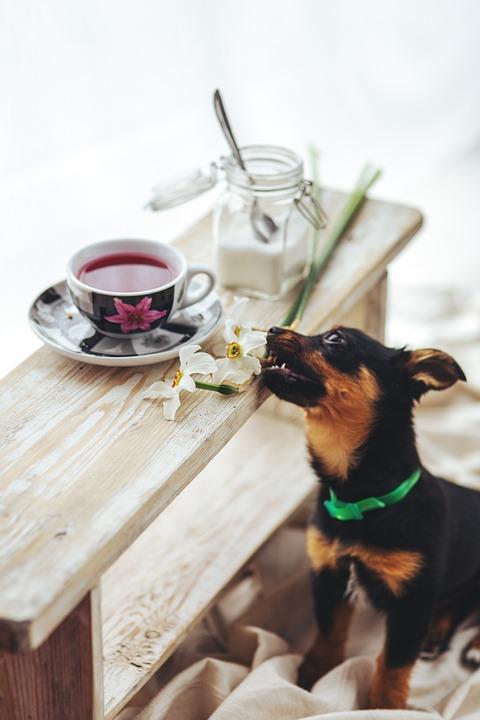Puppy, Pet, Dog, Animal, Cute, Sweet, Tea