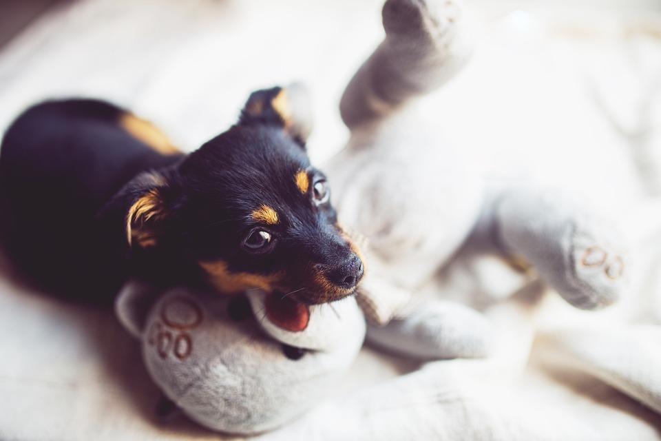 Puppy, Dog, Small, Sweet, Cute, Teddy, Bear, Pet
