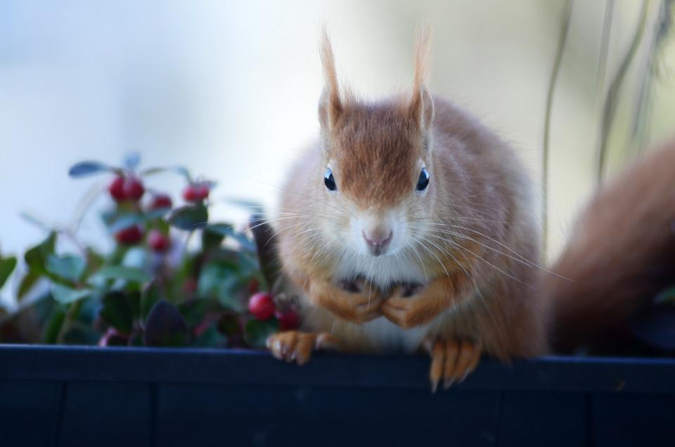 Squirrel, Croissant, Rodent, Nager, Cute, Sweet, Animal