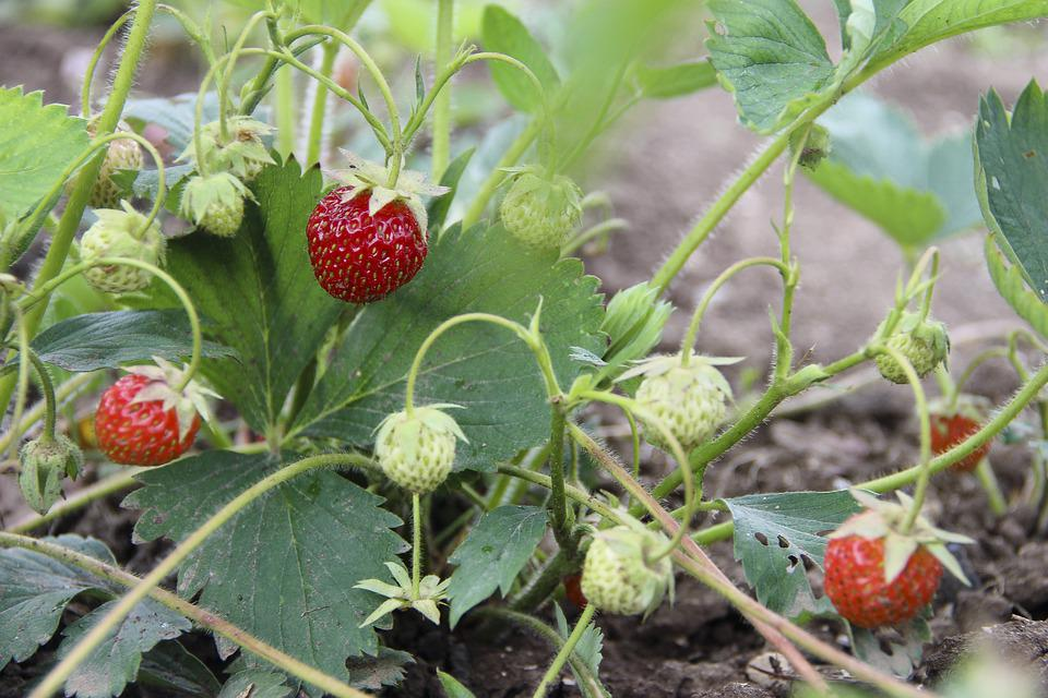Berry, Strawberry, Nutrition, Red, Sweet, Healthy, Ripe