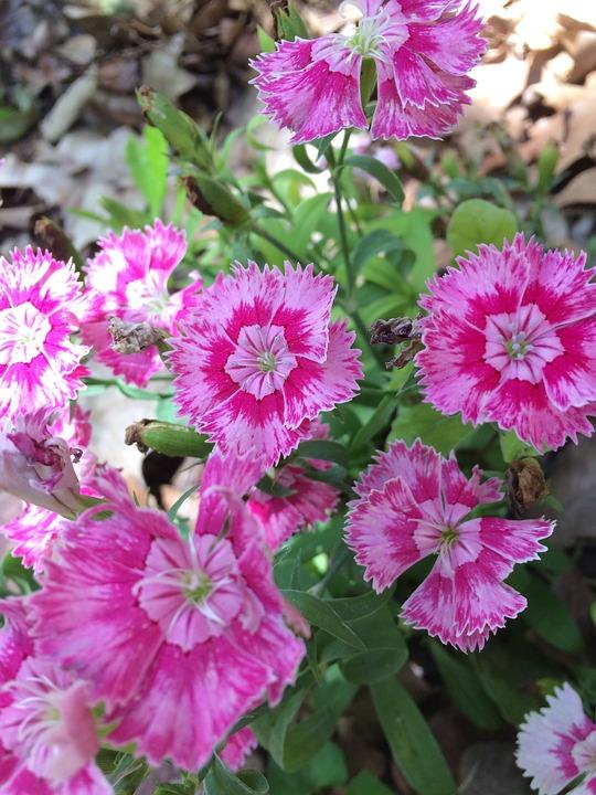 Free photo sweet william flowers pinks spring max pixel sweet william flowers spring pinks mightylinksfo