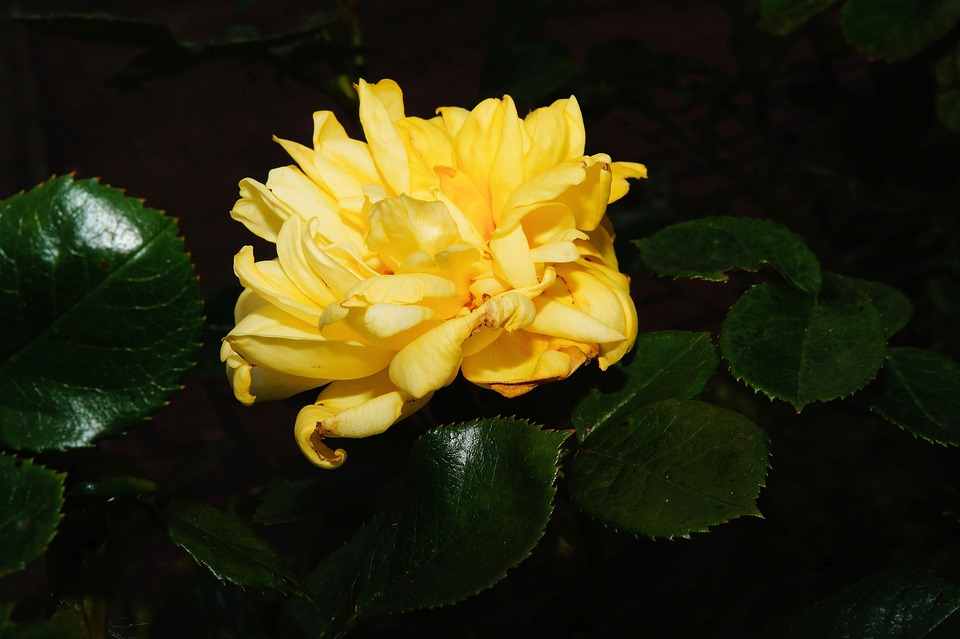 Rose, Flowers, Flower, Yellow, Plant, Sweet, Fragrant