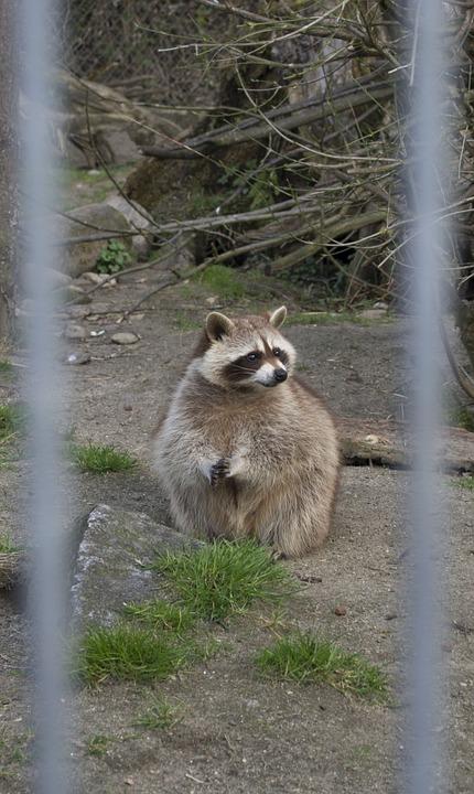Raccoon, Zoo, Animal, Sweet