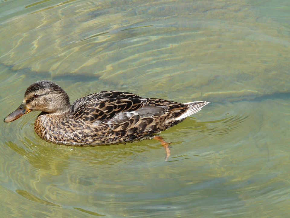 Duck, Mallard, Anas Platyrhynchos, Ducks, Animal, Swim