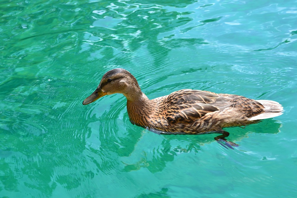 Duck, Duck Bird, Duck Swimming, Female, Swim