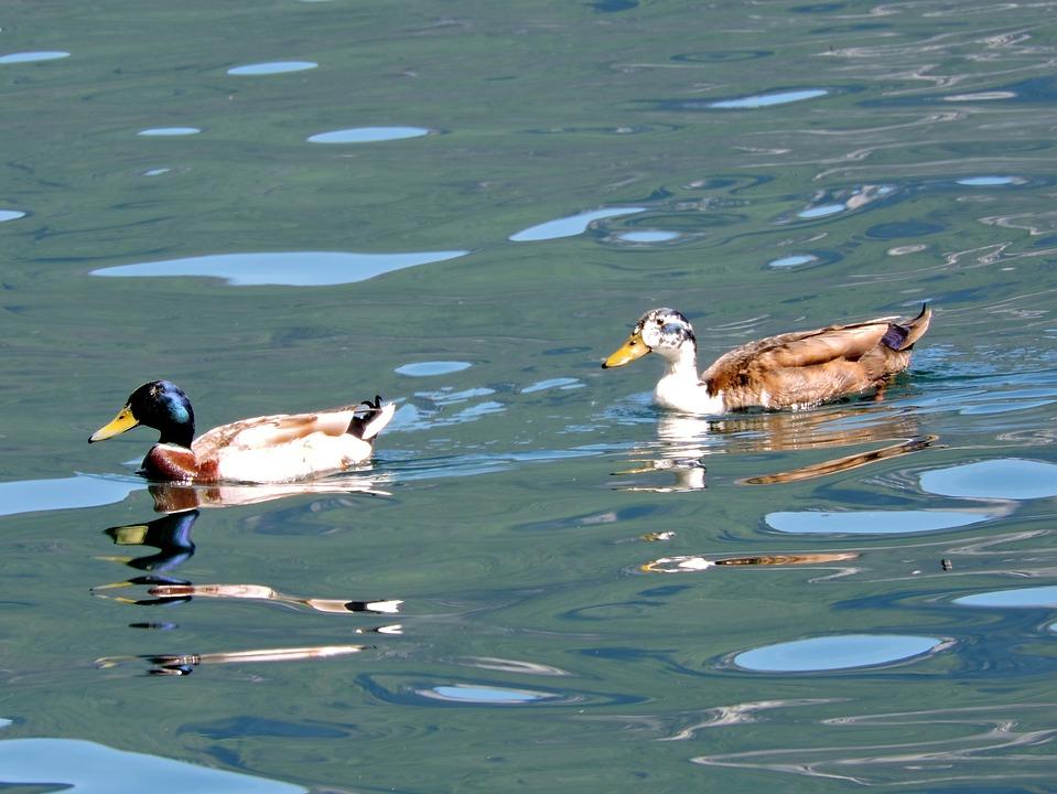 Duck, Water, Lake, Swim, Water Games, Bird