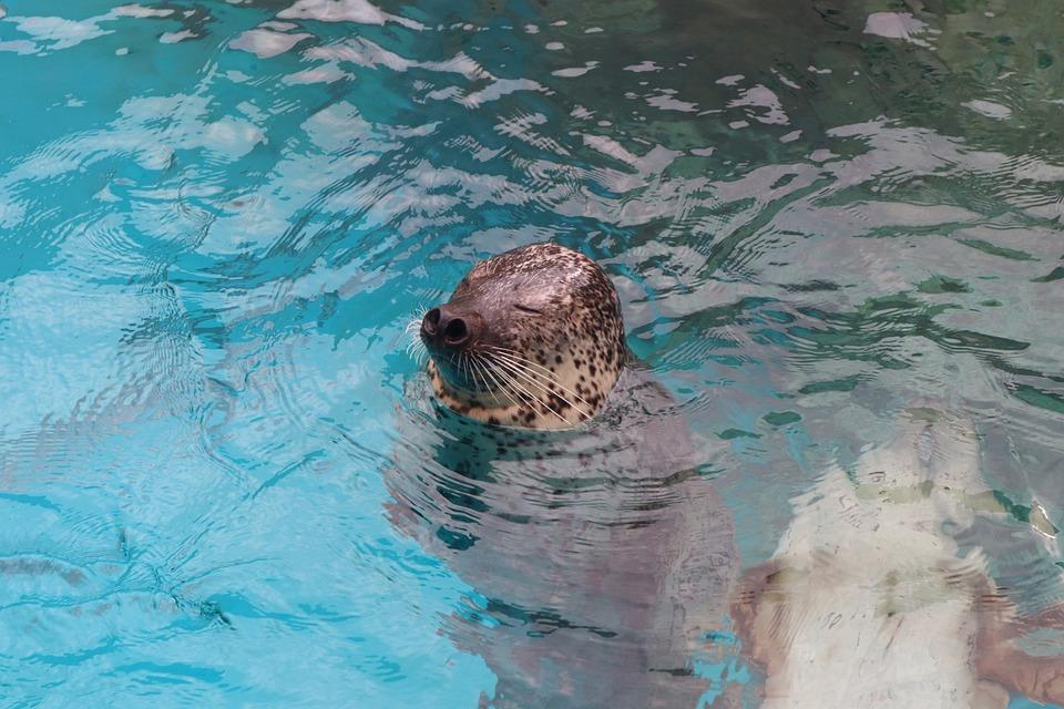 Seal, Water, Mammal, Animal, Swim, Underwater, Nature