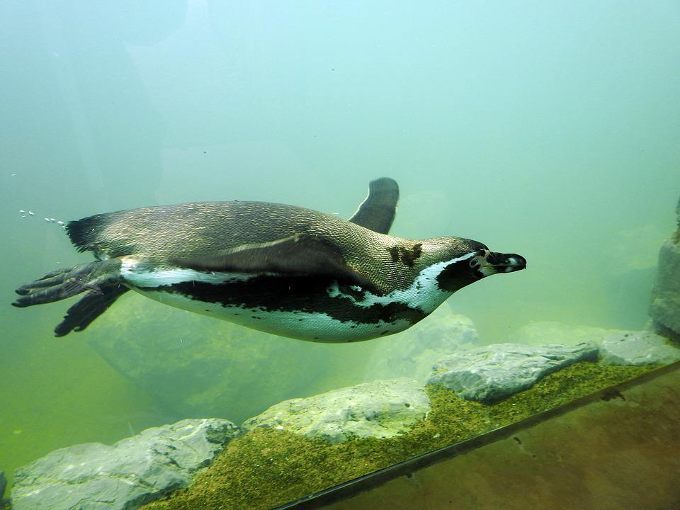 Penguin, Humboldt Penguin, Diving, Swim, Water