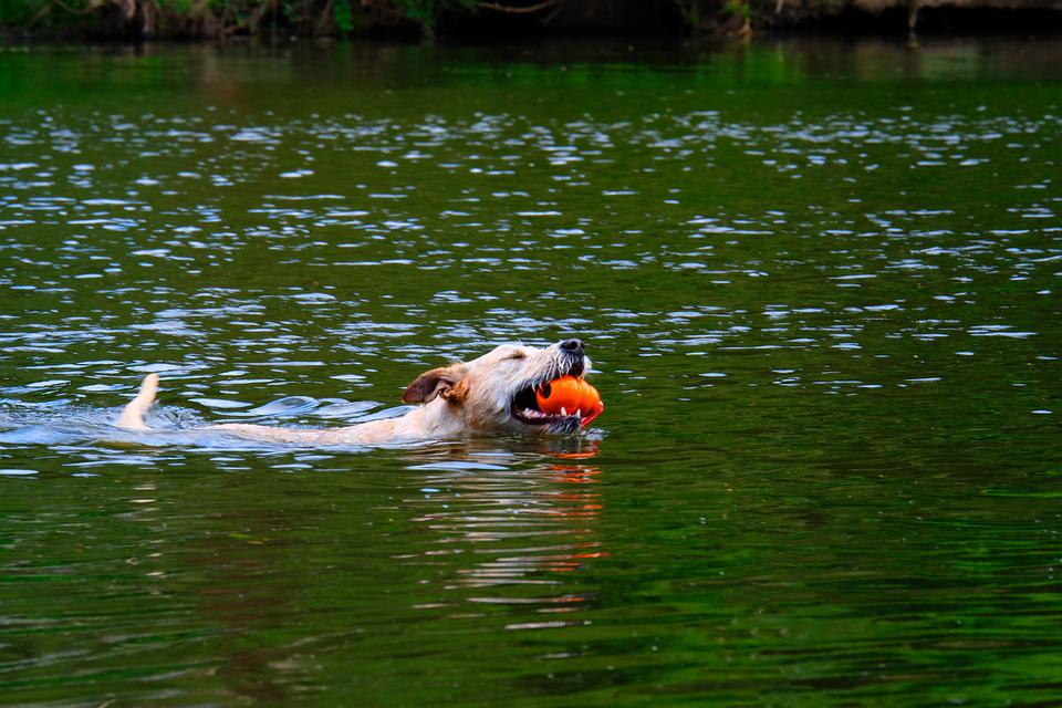 Dog, Swim, Water, Pet, Animal, Play, Summer, Cute, Fun