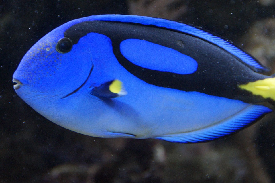 Fish, Surgeonfish, Blue, Swim, Aquarium, Meeresbewohner