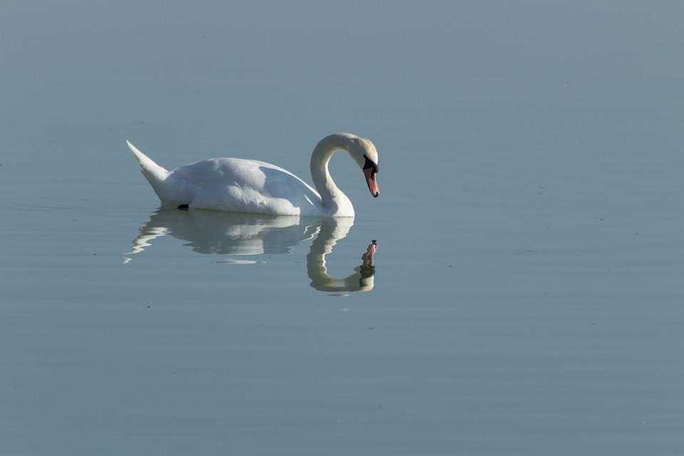 Swan, Cam, Bird, White, Lake, Swim, Pride, Plumage