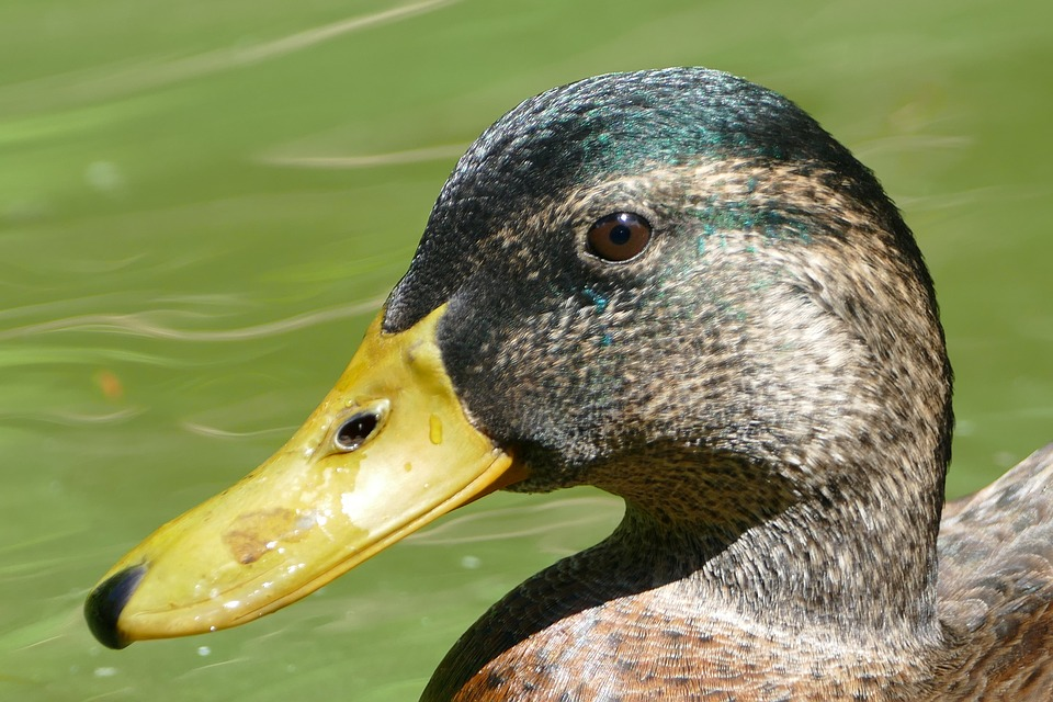 Duck, Water, Pond, Water Bird, Swim, Duck Bird