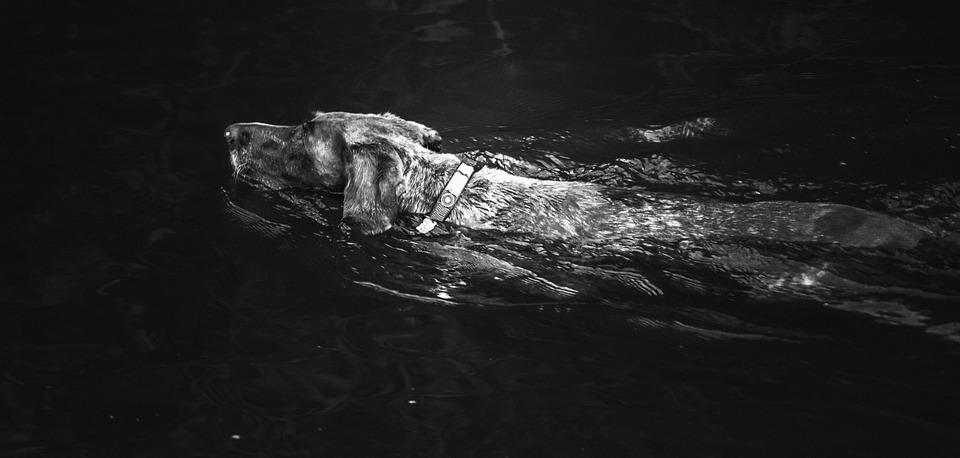 Dog, Swimming, Water, Black And White, Swim, Pet