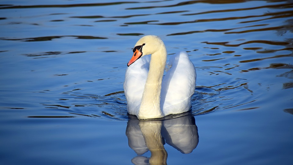 Switzerland, River, Swan, Bird, Water, Blue, Swim