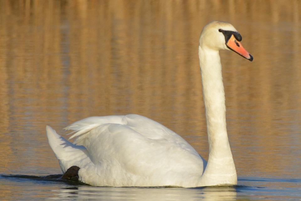 Swan, Animal, Waterfowl, Whooper Swan, Swimming