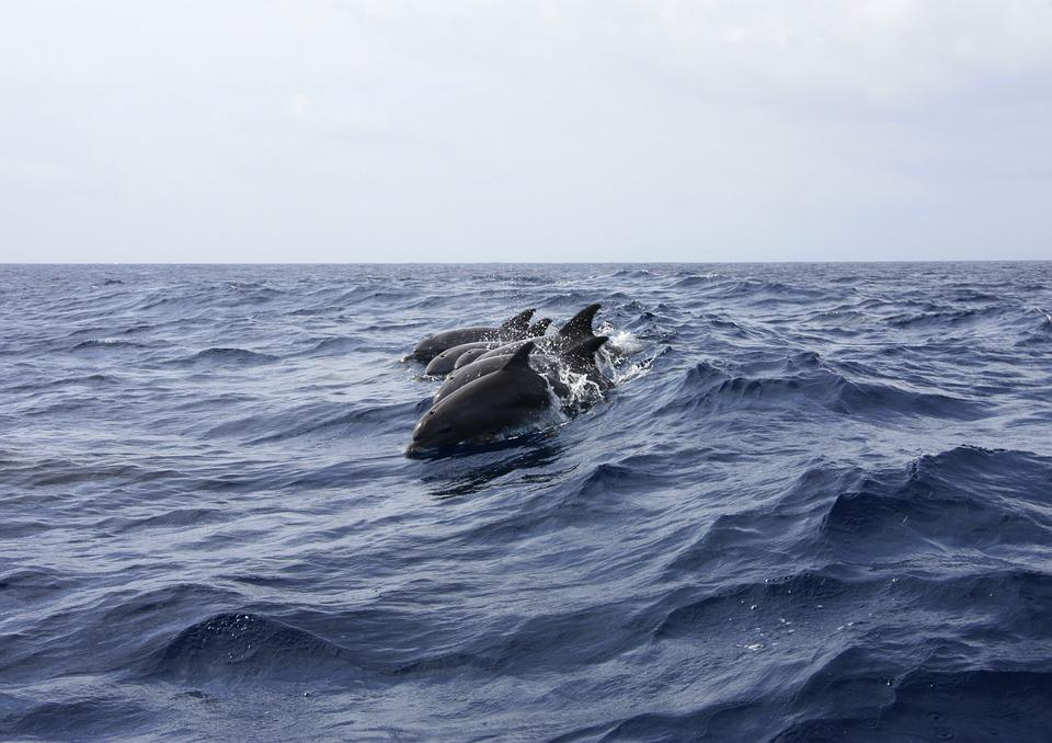 Dolphin, Animals, Sea, Nature, Water, Swimming, Waves