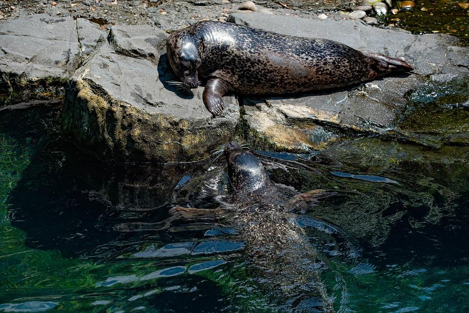 Harbor Seals, Mammal, Park, Swimming, Zoo, Pinnipeds