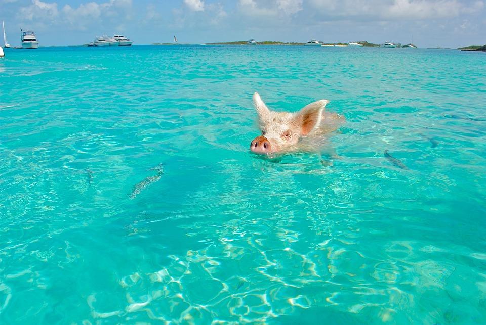 Staniel Cay, Swimming Pig, Exumas, Bahamas, Animal