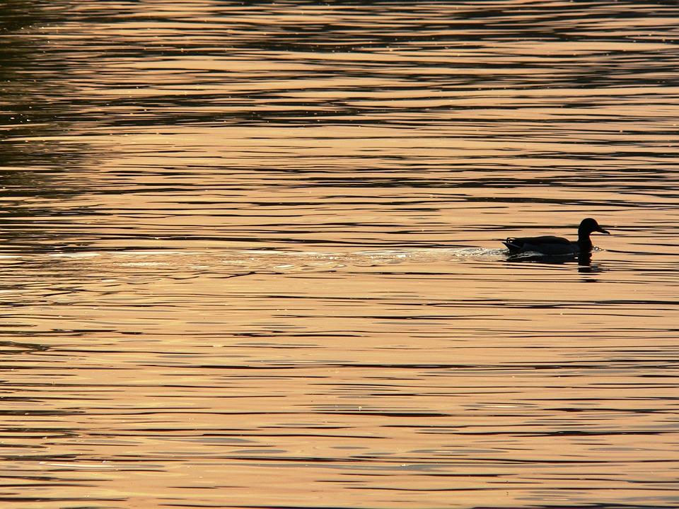 Duck, Waterfowl, Swimming, Water, Bird, Sunset