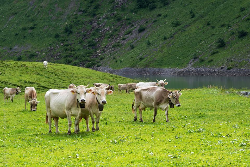 Cows, Alpine Pasture, Switzerland, Canton Of Glarus