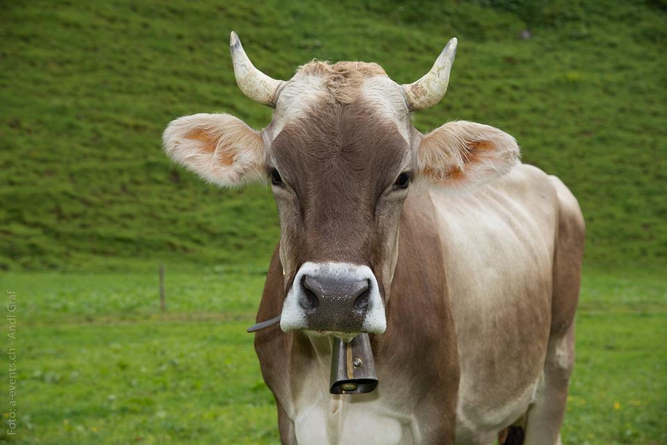 Cow, Animal, Alp, Switzerland, Canton Of Glarus, Glarus