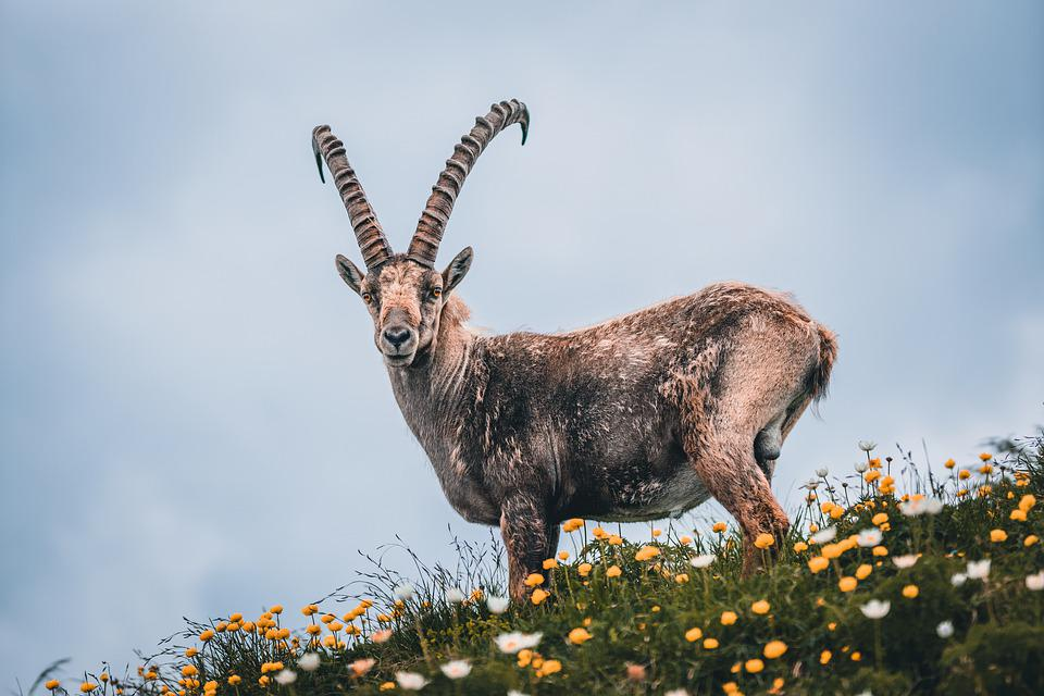 Capricorn, Alpine, Switzerland, Mountains, Hiking, Horn