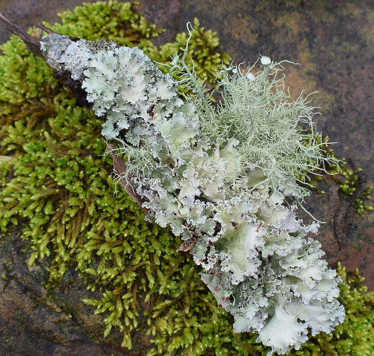 Lichens With Moss, Lichen, Symbiotic, Cyanobacteria