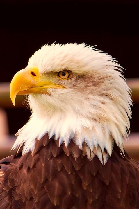 Free Photo Symbol Bird Wildlife Bald Eagle Patriotism Max Pixel