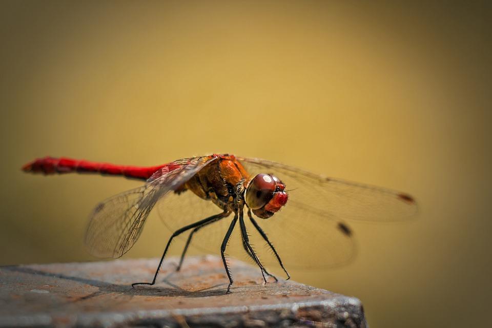 Sympetrum Vulgatum, Ordinary Dragonfly, Red Dragonfly
