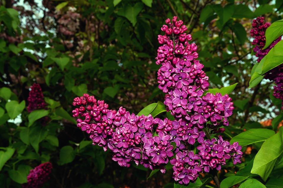 Lilac, Syringa, Ornamental Shrub, Plant, Bush, Blossom
