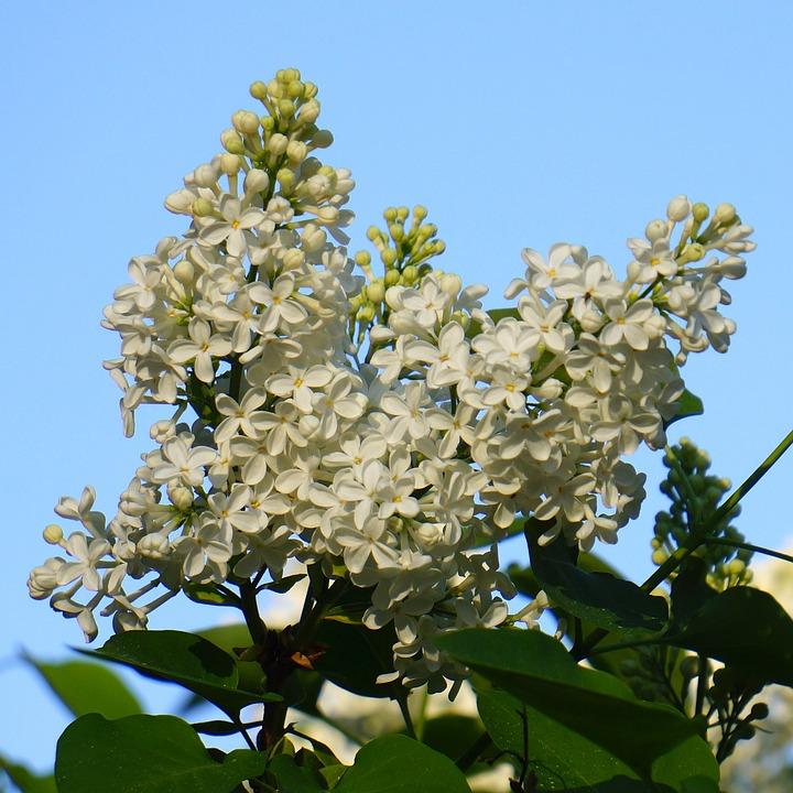 White Flower, Inflorescence, Lilac, Syringa, Plant