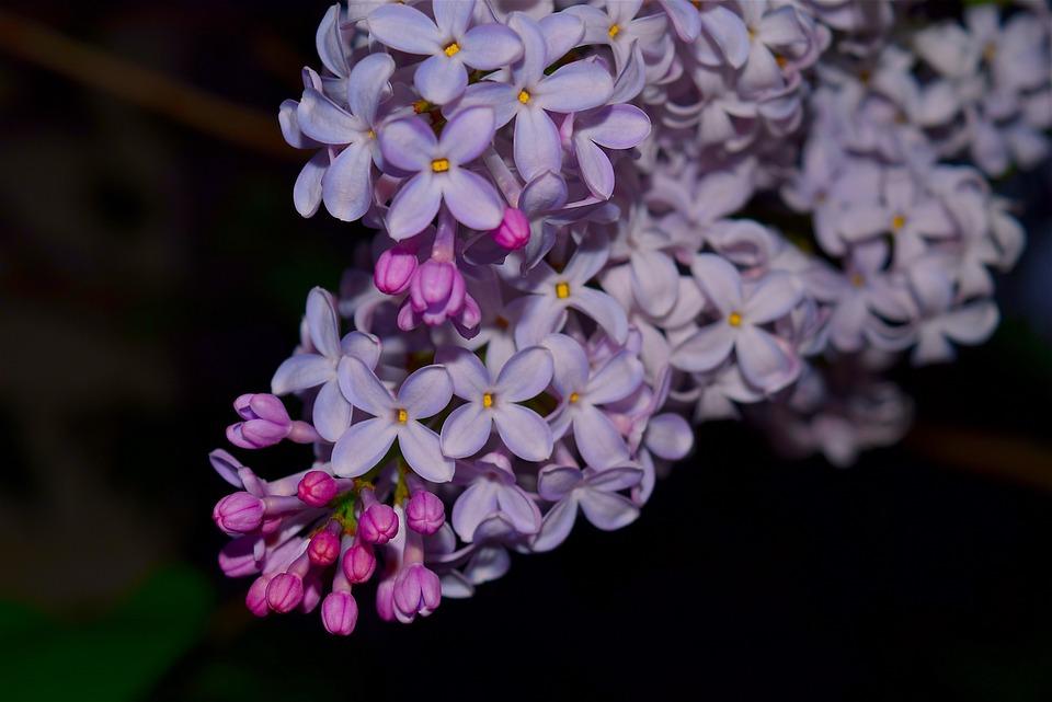 Lilac, Syringa, Flower, Purple, Floral, Bloom, Spring