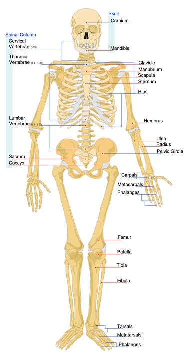 Skeletal, Labeled, Worksheet, Skeleton, System, Medical