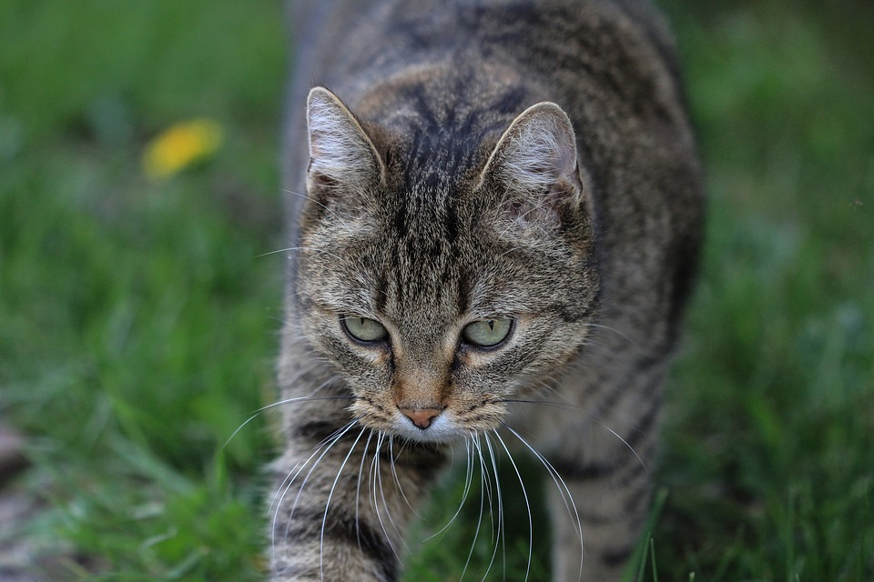 Tabby Cat, European Shorthair, Cat, Free Recording, Pet