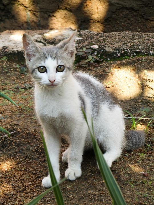 Cat, Kitten, Pet, Young Cat, Tabby Cat, Animal