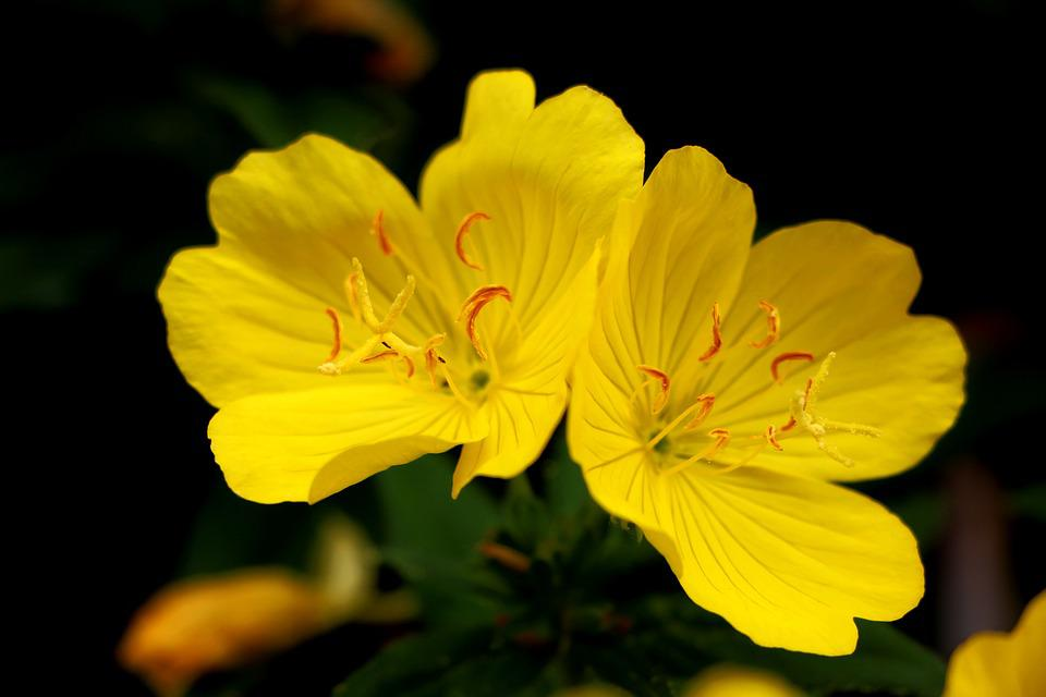 Evening Primrose, Plants, Flowers, Nature, Tabitha
