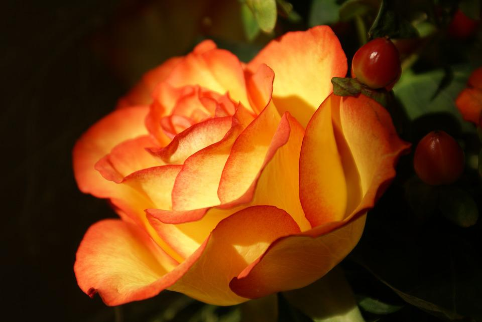 Orange, Rose, Table Decoration, Close, Flower
