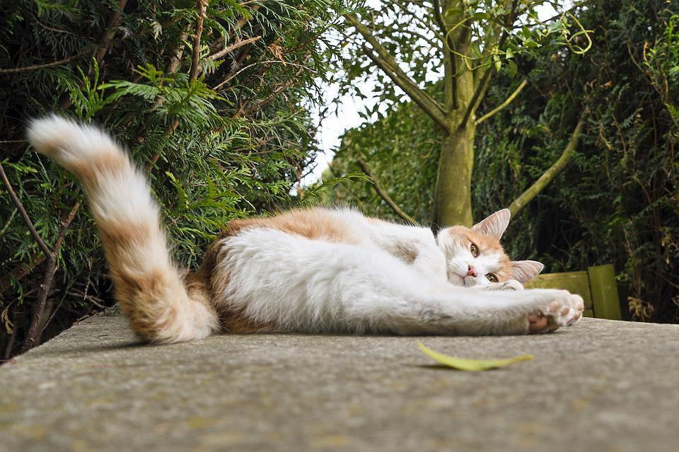 Cat, Lying, Tail, White And Red