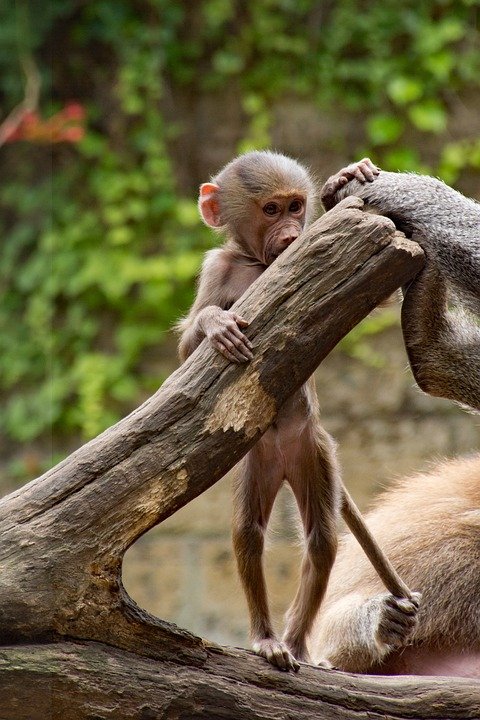 Zoo, Monkey, Mammal, Tail, Primate, Cute, Wild Animal