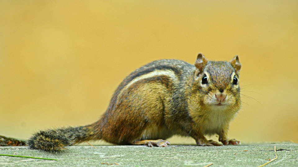 Chipmunk, Rodent, Animal, Cute, Wildlife, Striped, Tail
