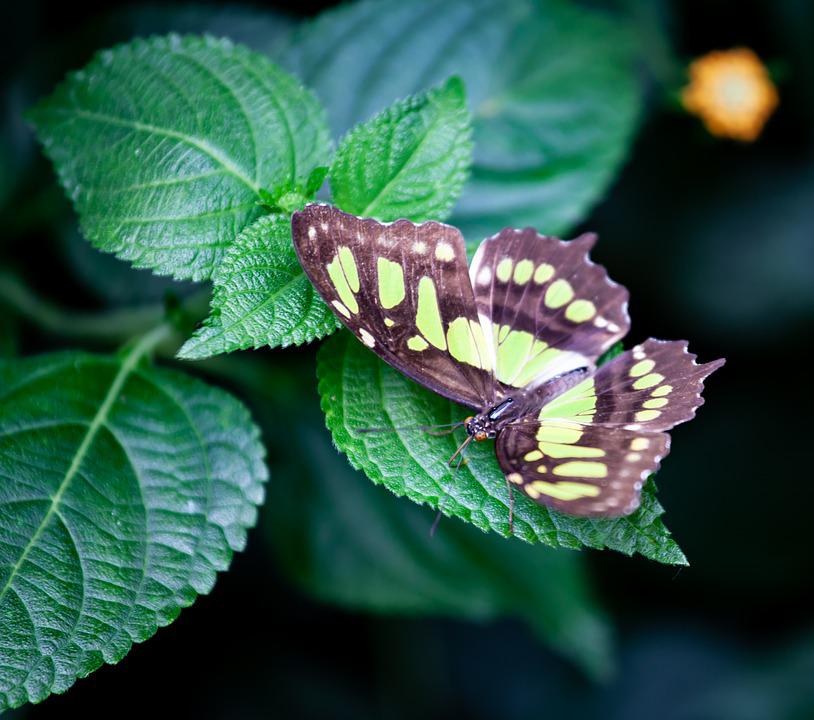 Tailed Jay Butterfly, Green Butterfly, Asia Butterfly