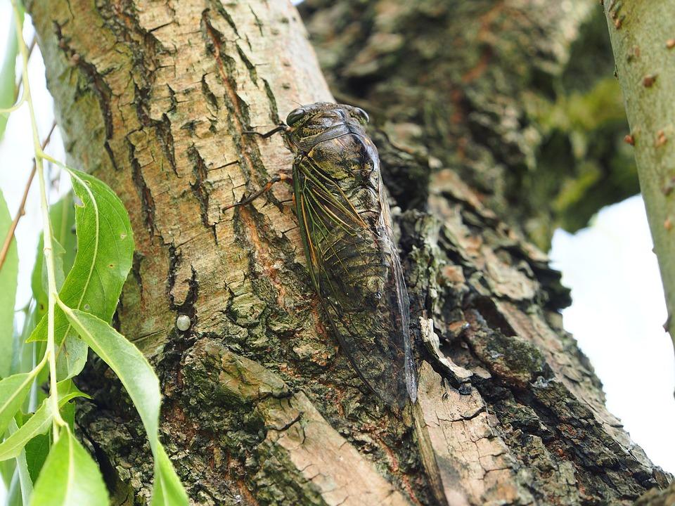 Cicadas, Taipei, Daan Park