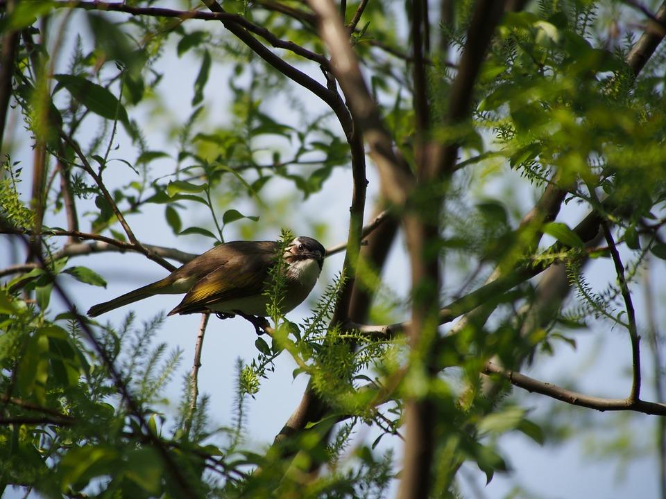Thrush, Bird, Taipei, Botanical Garden