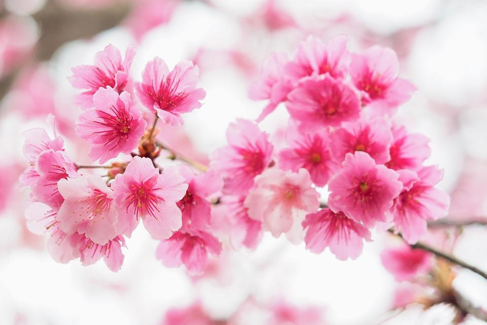 Taipei, Taiwan, Cherry Blossoms, Pink, Flower, Plant